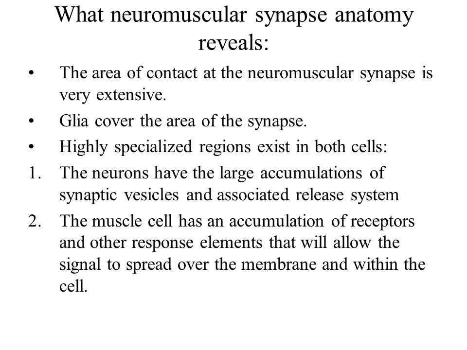 What neuromuscular synapse anatomy reveals: The area of contact at the neuromuscular synapse is very extensive.