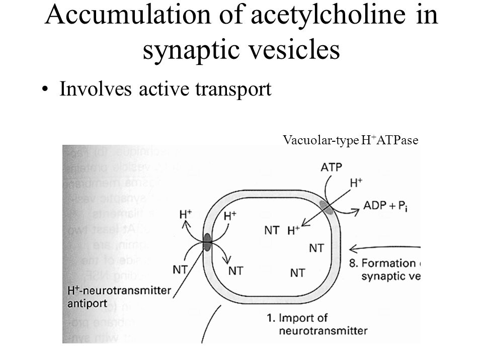 Accumulation of acetylcholine in synaptic vesicles Involves active transport Vacuolar-type H + ATPase