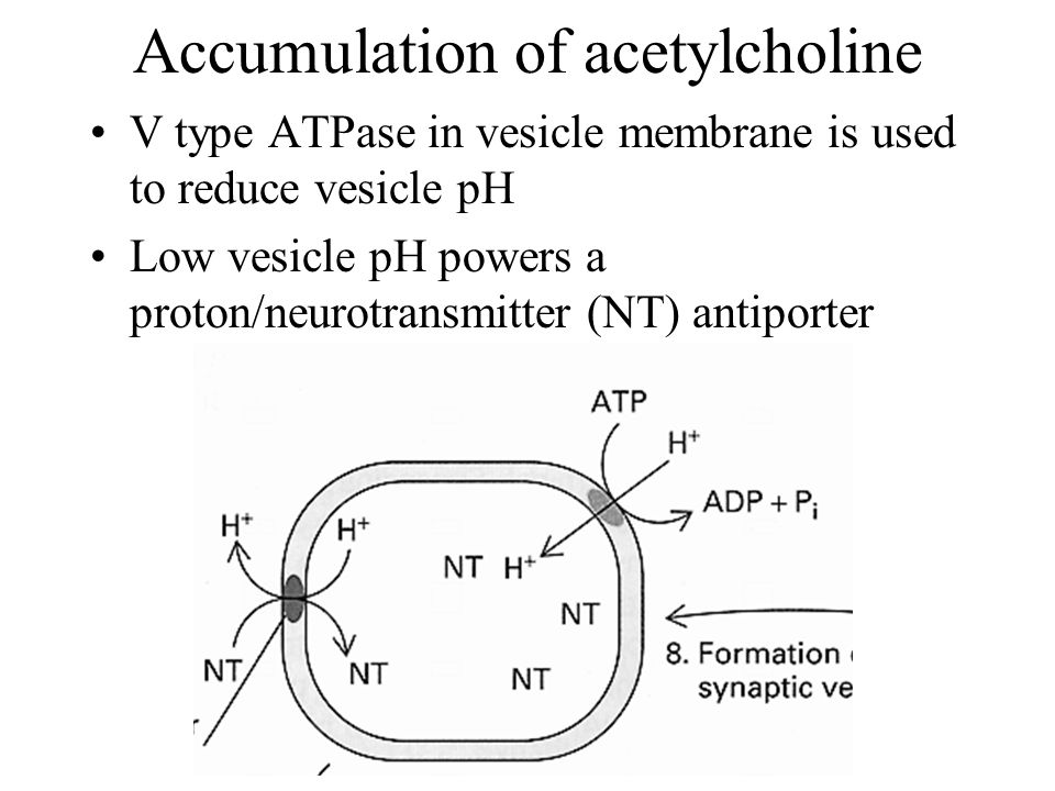Accumulation of acetylcholine V type ATPase in vesicle membrane is used to reduce vesicle pH Low vesicle pH powers a proton/neurotransmitter (NT) antiporter