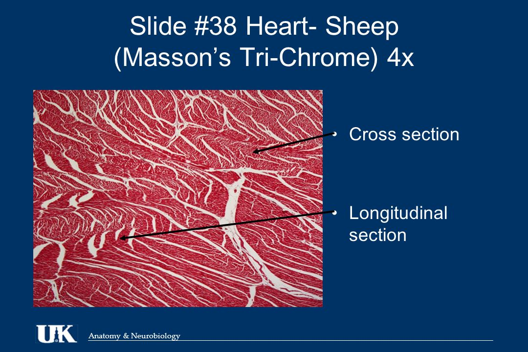Anatomy & Neurobiology ANA 812 Lab Session Muscle Tissue Katherine ...