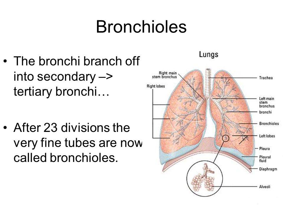 bronchiole - 960×720