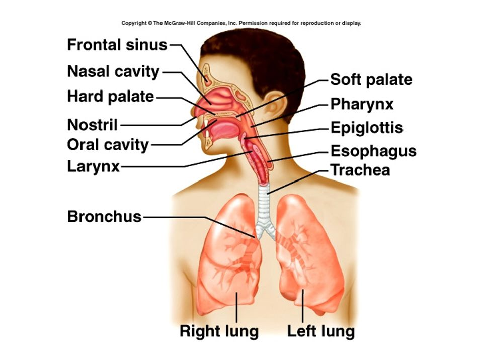 Structure and Function of the Pulmonary System. Pulmonary System ...