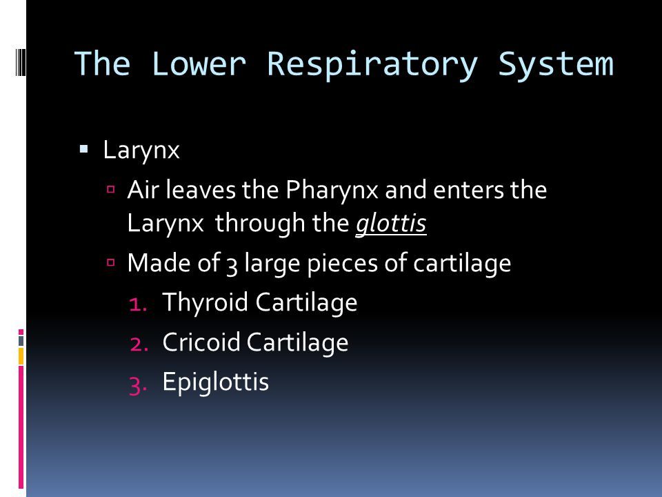 The Lower Respiratory System  Larynx  Air leaves the Pharynx and enters the Larynx through the glottis  Made of 3 large pieces of cartilage 1.Thyroid Cartilage 2.Cricoid Cartilage 3.Epiglottis