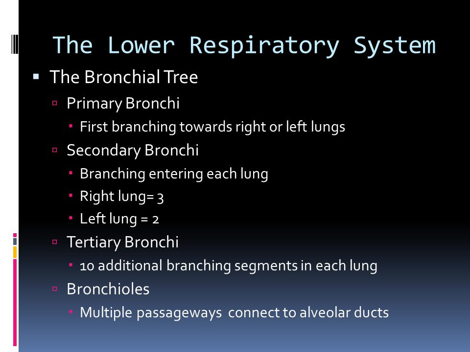 The Lower Respiratory System  The Bronchial Tree  Primary Bronchi  First branching towards right or left lungs  Secondary Bronchi  Branching entering each lung  Right lung= 3  Left lung = 2  Tertiary Bronchi  10 additional branching segments in each lung  Bronchioles  Multiple passageways connect to alveolar ducts