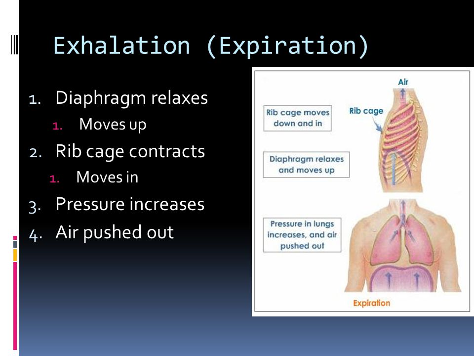 Exhalation (Expiration) 1. Diaphragm relaxes 1. Moves up 2.