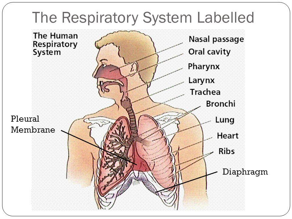 The Respiratory System The Respiratory System Overview The Primary