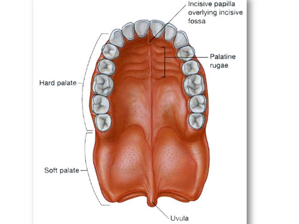 Nice Anatomy Of Hard Palate Model - Anatomy And Physiology Biology ...