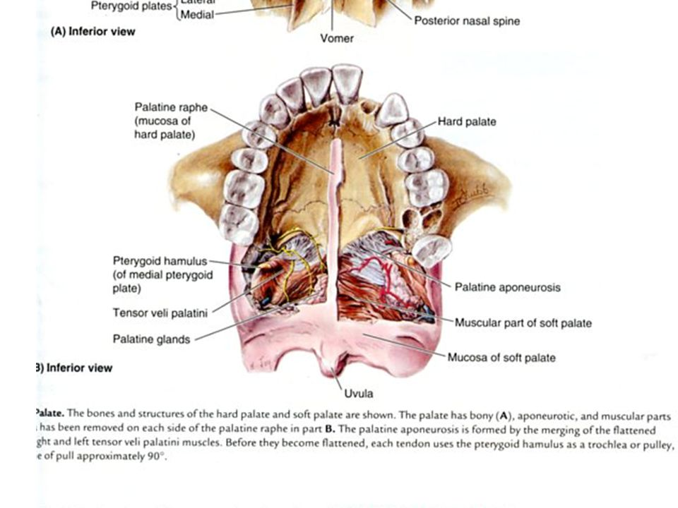 Anatomy of Swallowing Strucures Muscles Nerves Vascular supply ...