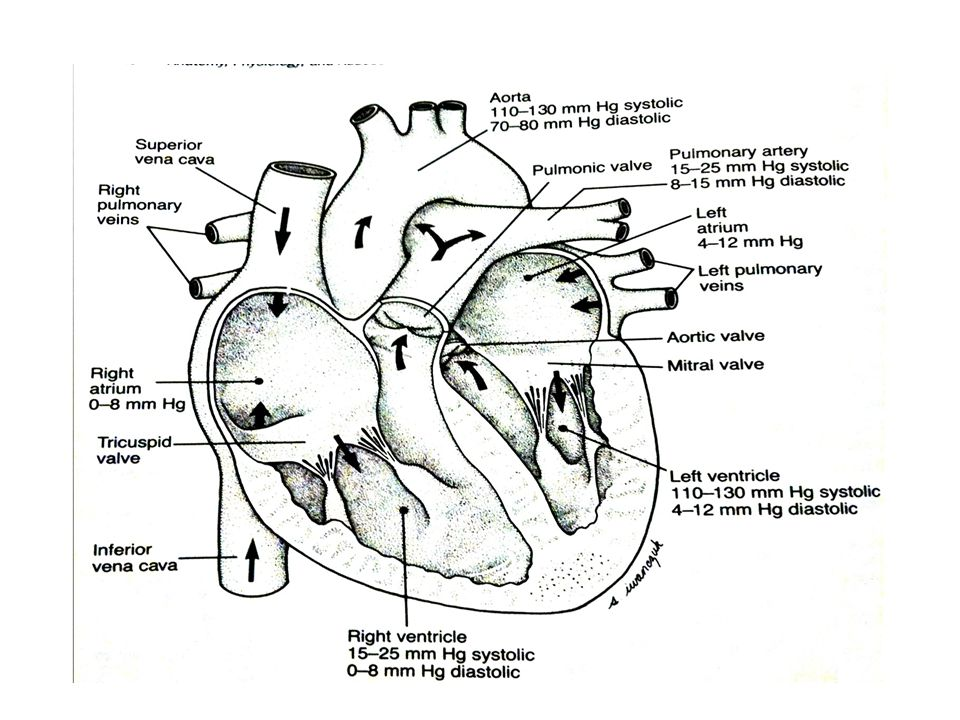 the lungs and chest wall ppt video online download Pleural Cavity Diagram mr cosa s drawing
