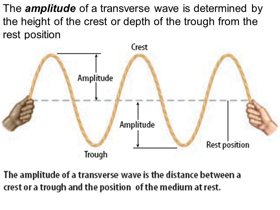 The amplitude of a transverse wave is determined by the height of the crest or depth of the trough from the rest position