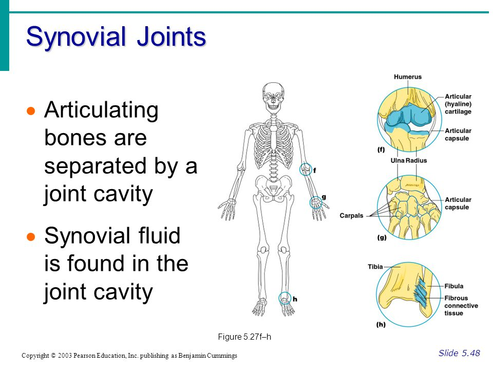 Synovial Joints Slide 5.48 Copyright © 2003 Pearson Education, Inc.