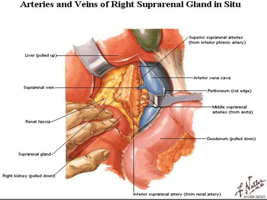 Kidneys and Adrenal Glands - ppt video online download
