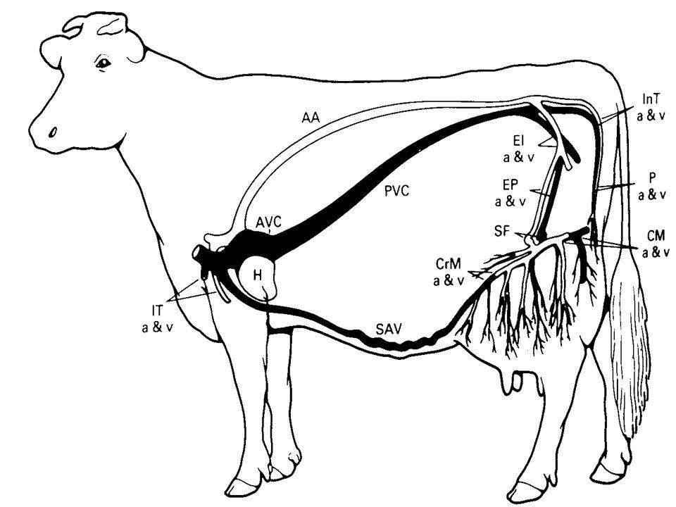 The Mammary Gland The milk secreting organ Modified sweat gland ...