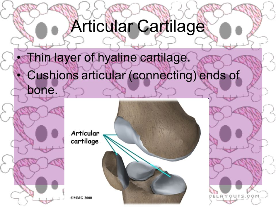 Articular Cartilage Thin layer of hyaline cartilage. Cushions articular (connecting) ends of bone.