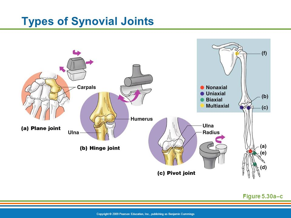 Copyright © 2009 Pearson Education, Inc., publishing as Benjamin Cummings Types of Synovial Joints Figure 5.30a–c