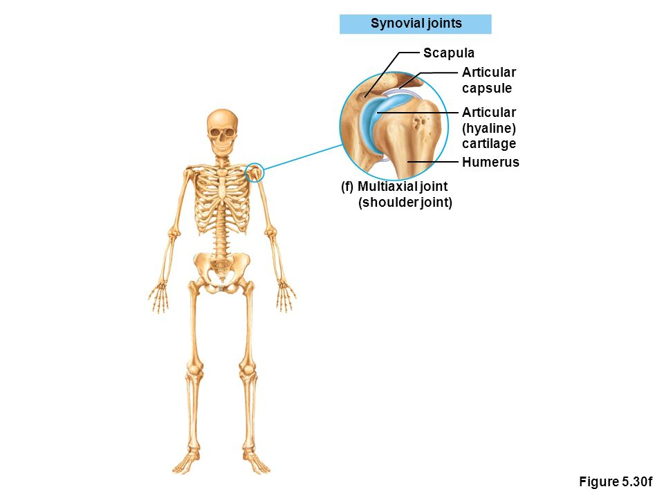 Figure 5.30f Synovial joints Scapula Articular capsule Articular (hyaline) cartilage Humerus (f) Multiaxial joint (shoulder joint)