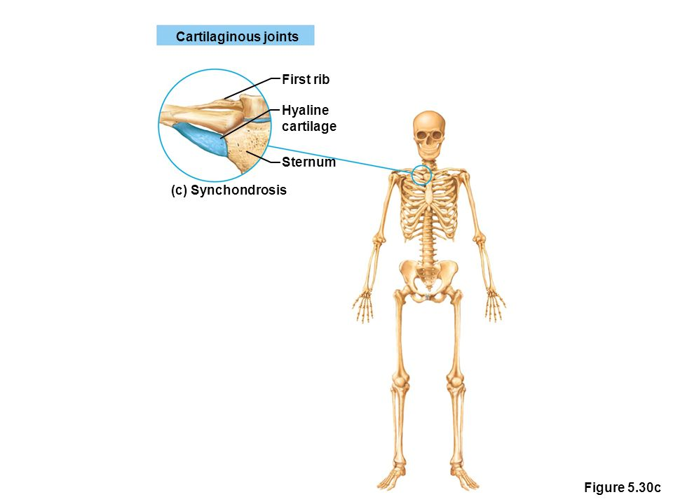 Figure 5.30c Cartilaginous joints First rib Hyaline cartilage Sternum (c) Synchondrosis