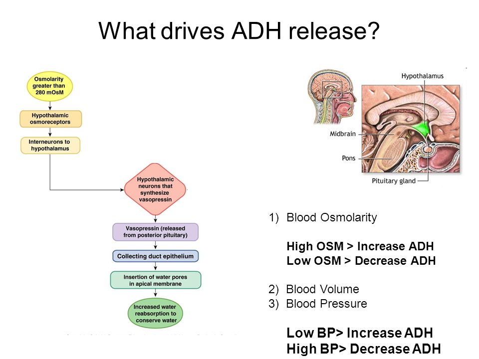 What drives ADH release.