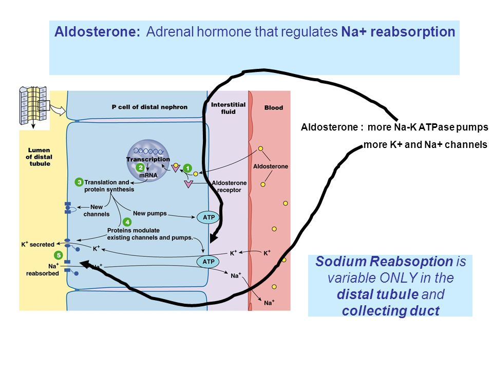 Sodium Reabsoption is variable ONLY in the distal tubule and collecting duct Aldosterone: Adrenal hormone that regulates Na+ reabsorption Aldosterone : more Na-K ATPase pumps more K+ and Na+ channels