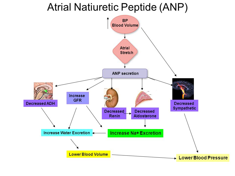 Atrial Natiuretic Peptide (ANP) BP Blood Volume Atrial Stretch ANP secretion Decreased ADH Decreased Renin Decreased Aldosterone Decreased Sympathetic Lower Blood Pressure Lower Blood Volume Increase Water Excretion Increase GFR Increase Na+ Excretion