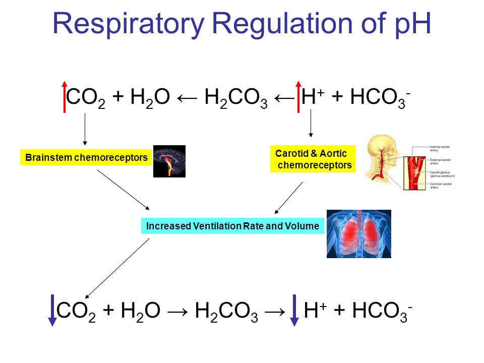 Respiratory Regulation of pH CO 2 + H 2 O ← H 2 CO 3 ← H + + HCO 3 - Brainstem chemoreceptors Increased Ventilation Rate and Volume CO 2 + H 2 O → H 2 CO 3 → H + + HCO 3 - Carotid & Aortic chemoreceptors