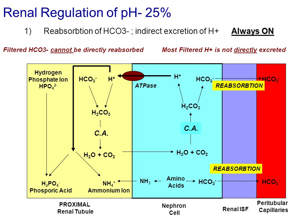 Renal Regulation of pH- 25% Always ON 1)Reabsorbtion of HCO3- ; indirect excretion of H+ Always ON PROXIMAL Renal Tubule Nephron Cell Renal ISF Peritubular Capillaries HCO 3 - H 2 CO 3 H 2 O + CO 2 Filtered HCO3- cannot be directly reabsorbed C.A.