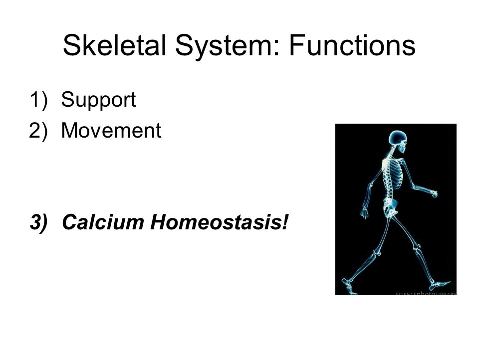 Skeletal System: Functions 1)Support 2)Movement 3)Calcium Homeostasis!
