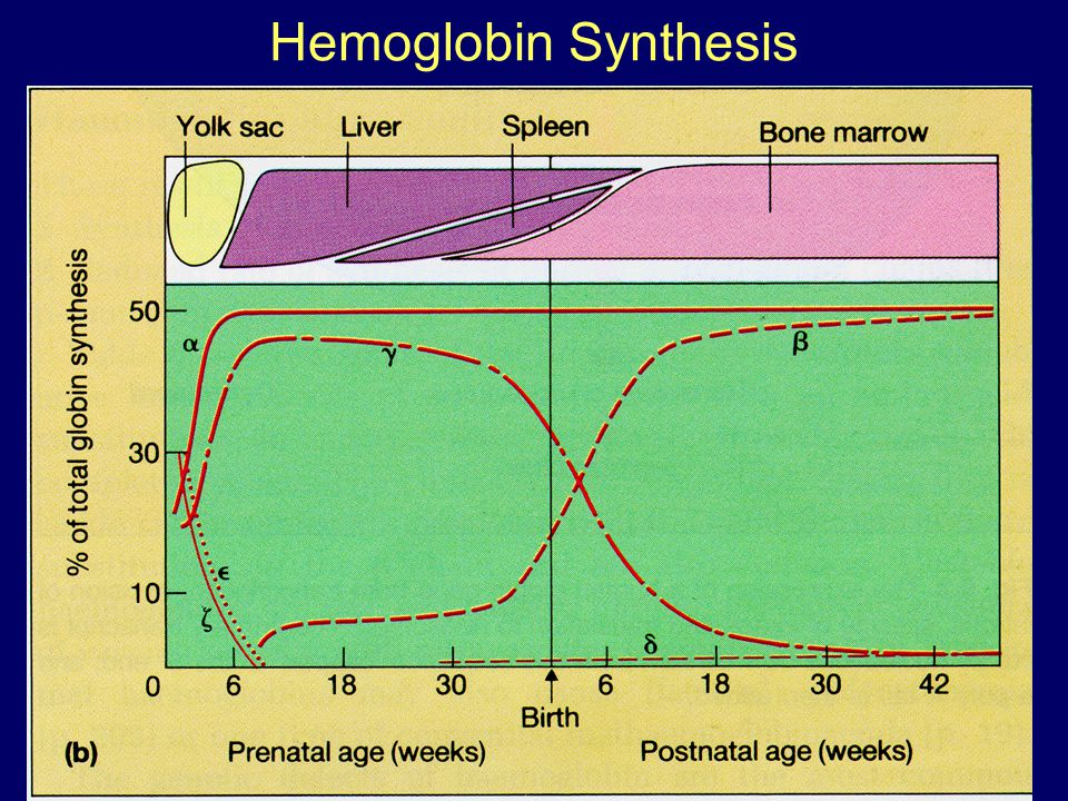 Hemoglobin Synthesis