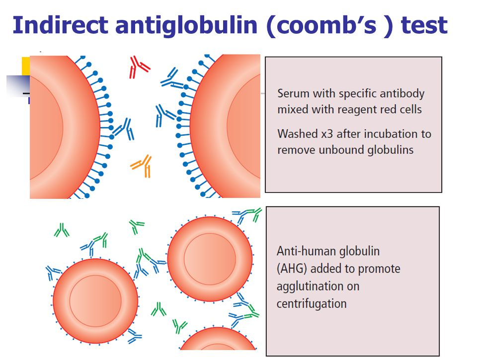 Indirect antiglobulin (coomb′s ) test