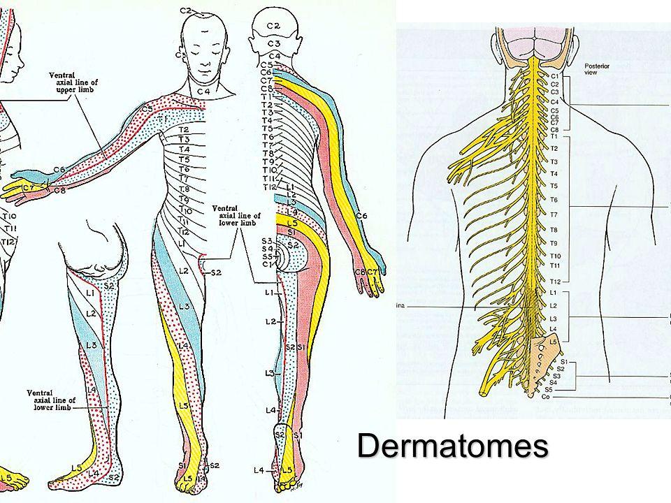 Cervical Spine Injuries The Cervical Spine Vertebrae 7 Cervical
