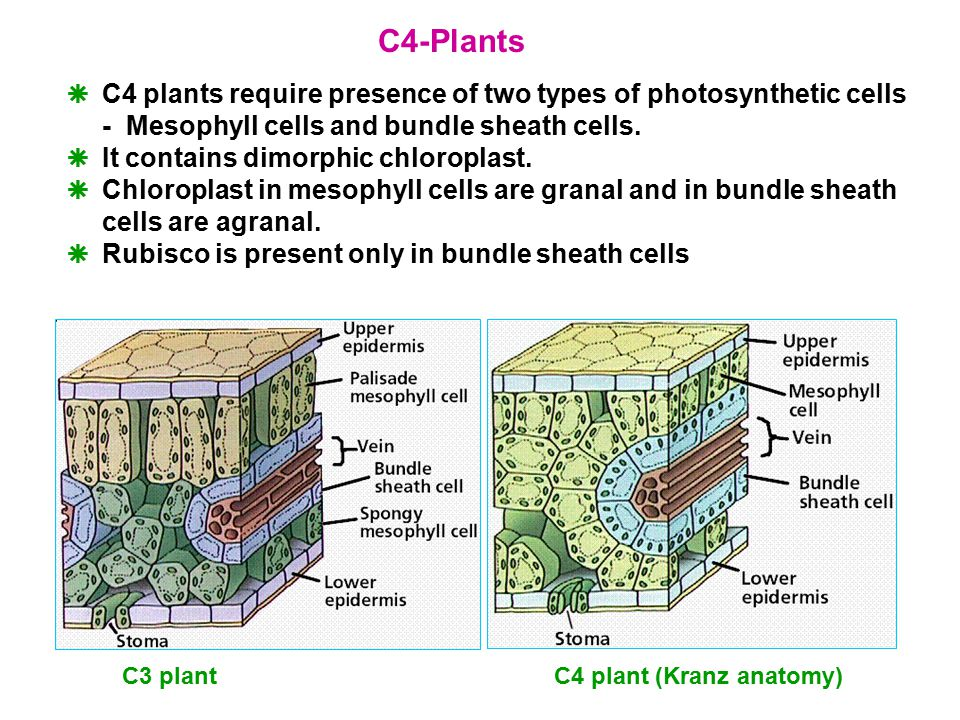 Photosynthesis Photosynthesis Is A Process By Which Green Plants And