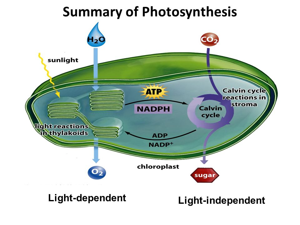 Summary of Photosynthesis Light-dependent Light-independent