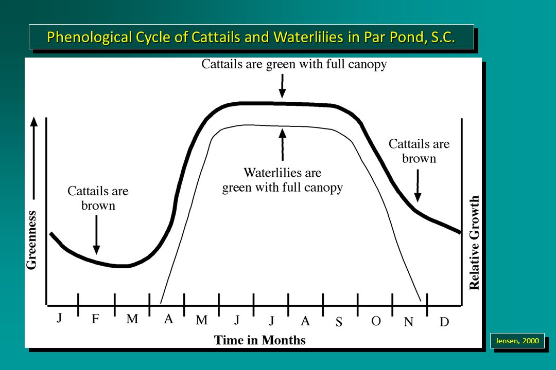 Phenological Cycle of Cattails and Waterlilies in Par Pond, S.C. Jensen, 2000