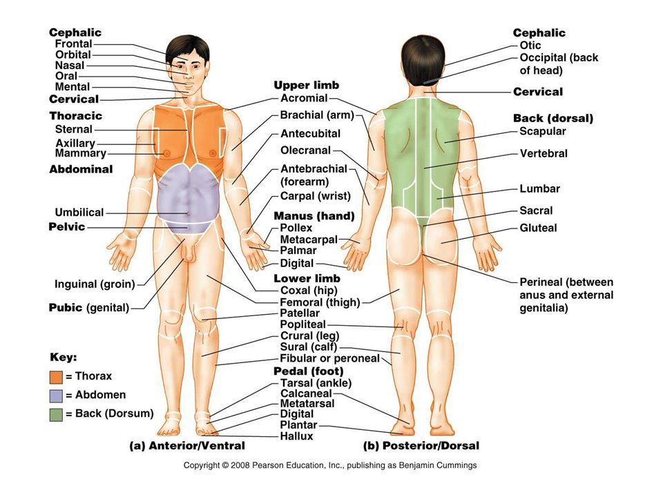 Anatomical Positions Ppt Video Online Download