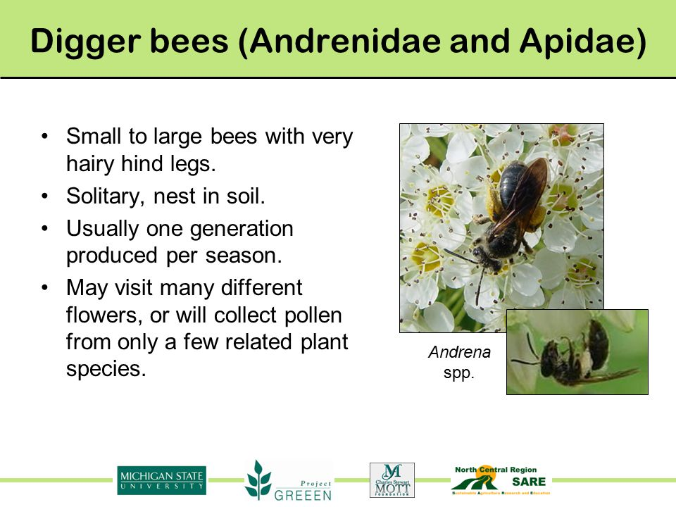 Common Bees in Michigan Julianna Tuell, Rufus Isaacs Anna