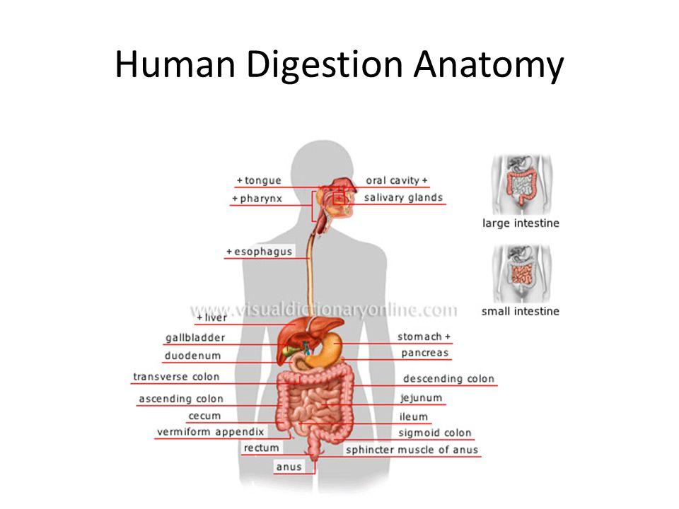 Human Digestion Anatomy Mouthpharynx Teeth Chew Food Into Smaller