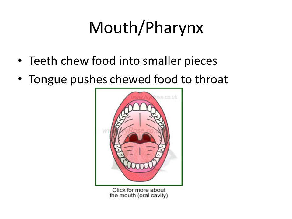 Human Digestion Anatomy. Mouth/Pharynx Teeth chew food into smaller ...