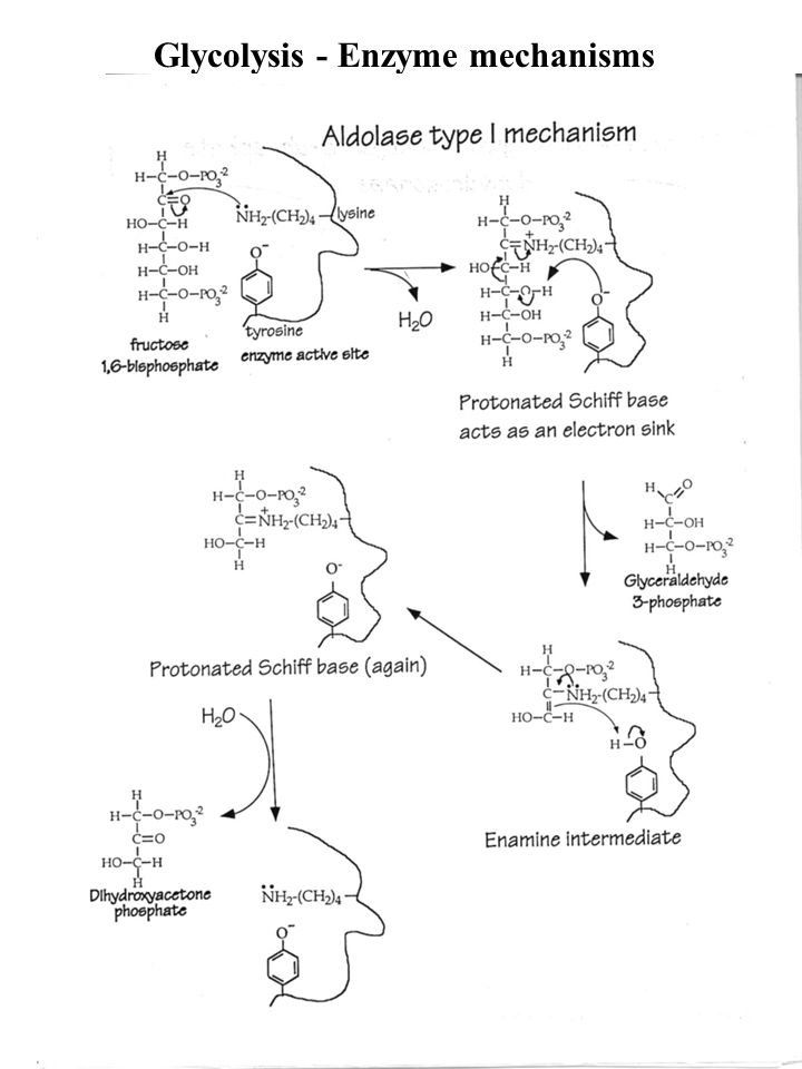 Glycolysis Glucose Utilization In Cells Of Higher Plants And Animals