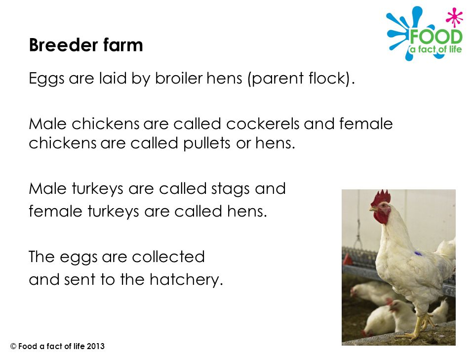 Poultry farming © Food a fact of life Introduction Chicken