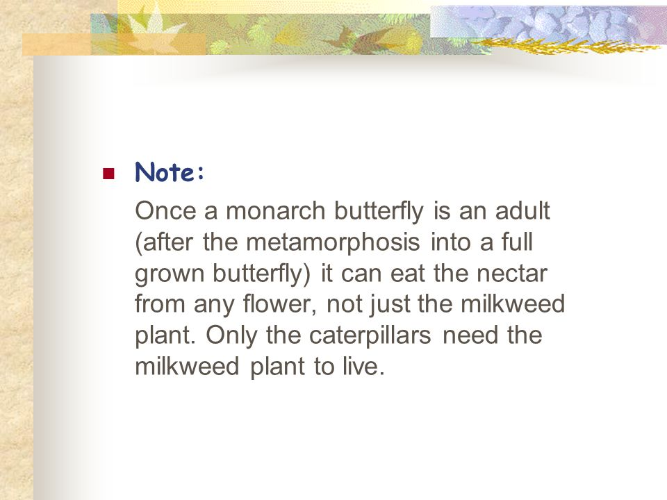 Note: Once a monarch butterfly is an adult (after the metamorphosis into a full grown butterfly) it can eat the nectar from any flower, not just the milkweed plant.