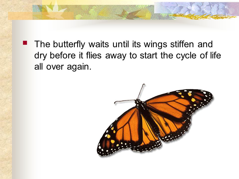 The butterfly waits until its wings stiffen and dry before it flies away to start the cycle of life all over again.