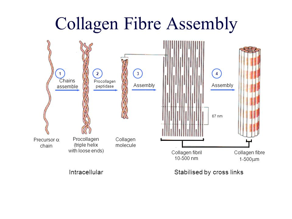 Collagen Fibre Assembly Collagen fibril nm Collagen fibre  m Stabilised by cross links Assembly Procollagen peptidase Chains assemble Precursor  chain Procollagen (triple helix with loose ends) Collagen molecule 67 nm Intracellular 1234
