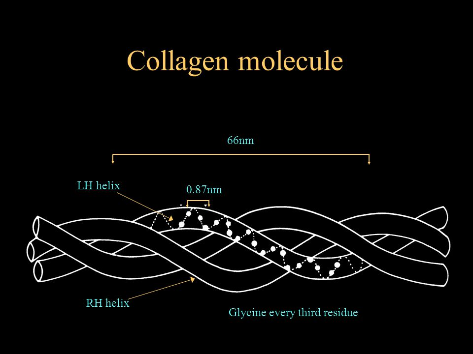 0.87nm 66nm Glycine every third residue Collagen molecule LH helix RH helix