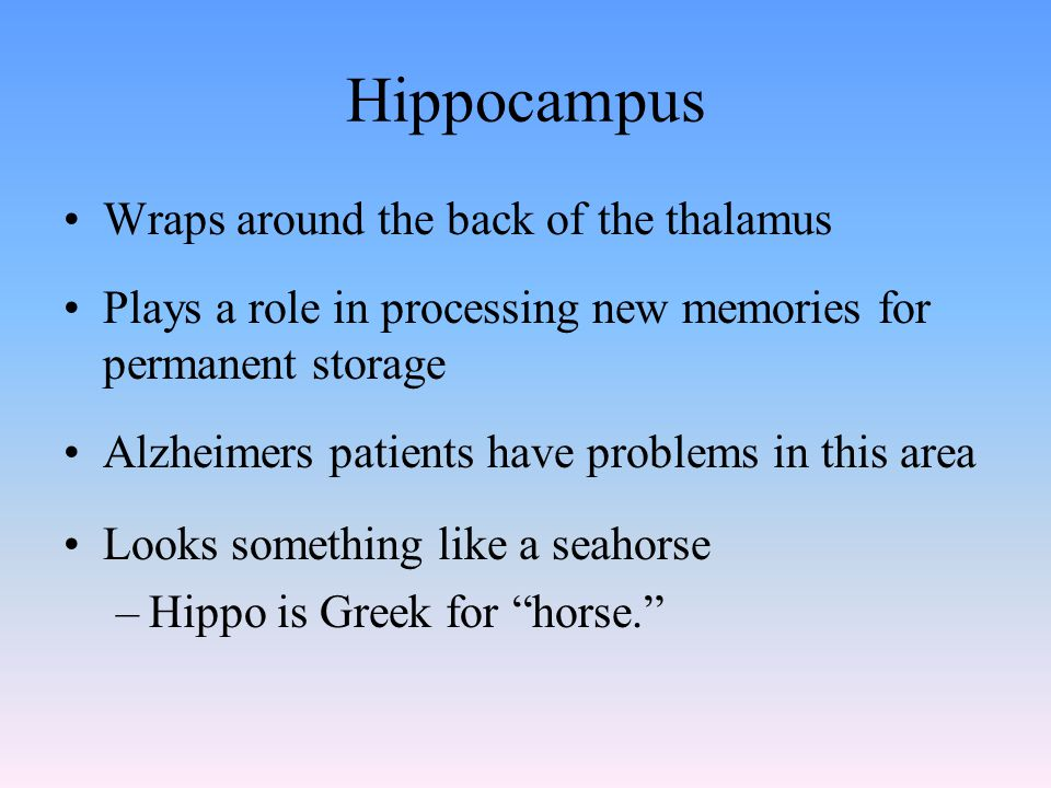 Hippocampus Wraps around the back of the thalamus Plays a role in processing new memories for permanent storage Alzheimers patients have problems in this area Looks something like a seahorse –Hippo is Greek for horse.