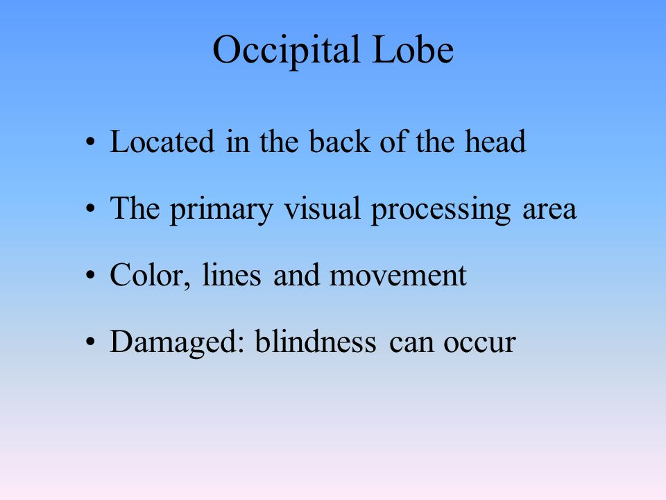 Occipital Lobe Located in the back of the head The primary visual processing area Color, lines and movement Damaged: blindness can occur