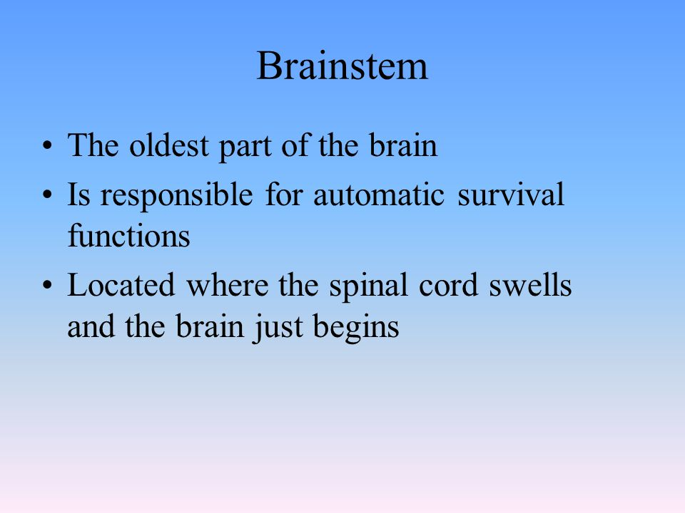 Brainstem The oldest part of the brain Is responsible for automatic survival functions Located where the spinal cord swells and the brain just begins