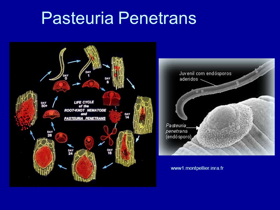 PASTEURIA PENETRANS EBOOK