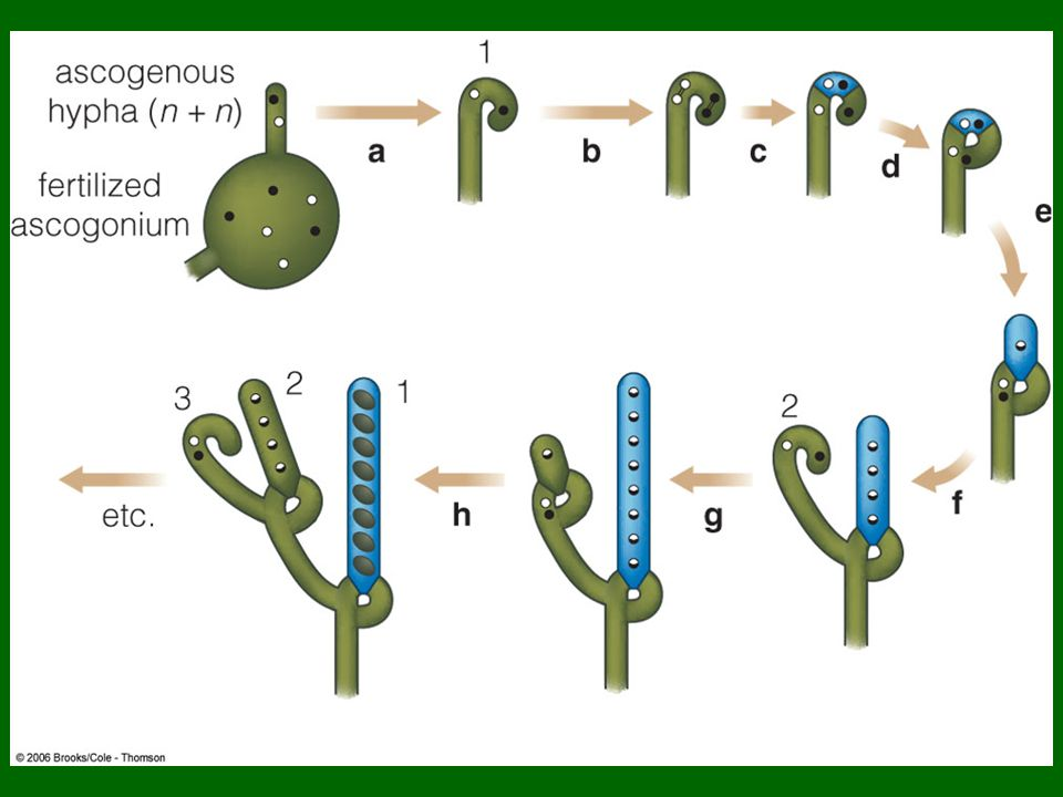 Chytridiomycota asexual reproduction regeneration