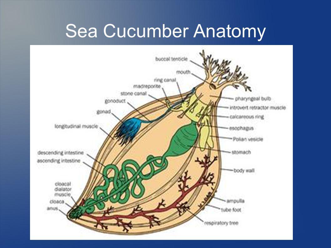 Chapter 14 Echinoderms Characteristics Of Phylum Echinodermata One