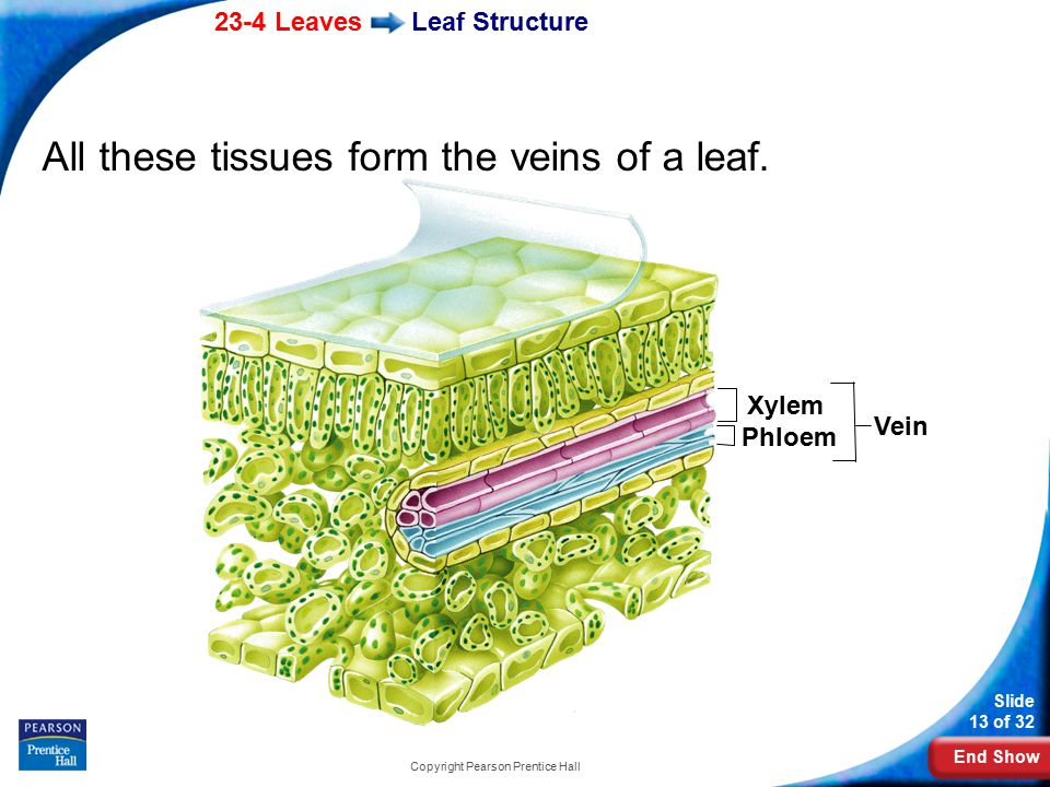 End Show 23-4 Leaves Slide 13 of 32 Copyright Pearson Prentice Hall Leaf Structure All these tissues form the veins of a leaf.